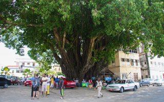 Dev imcir ağacı, Zanzibar