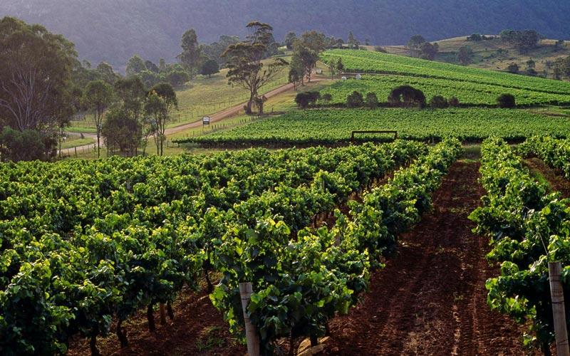 Hunter vadisi şarap bağları