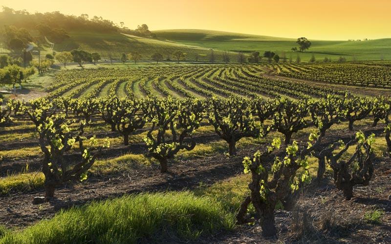 ünlü şarap bağları